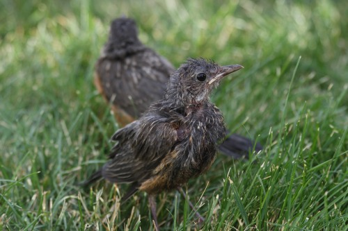 """Baby Robins"" by jpstanley"